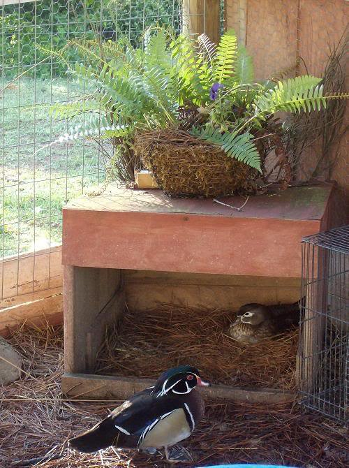 Duck nest shelter pearltrees for Duck shelter designs