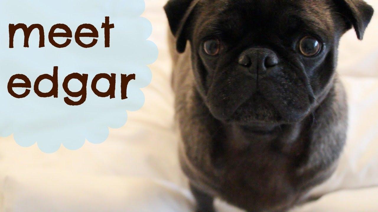 Edgar Allen Pug | Pearltrees