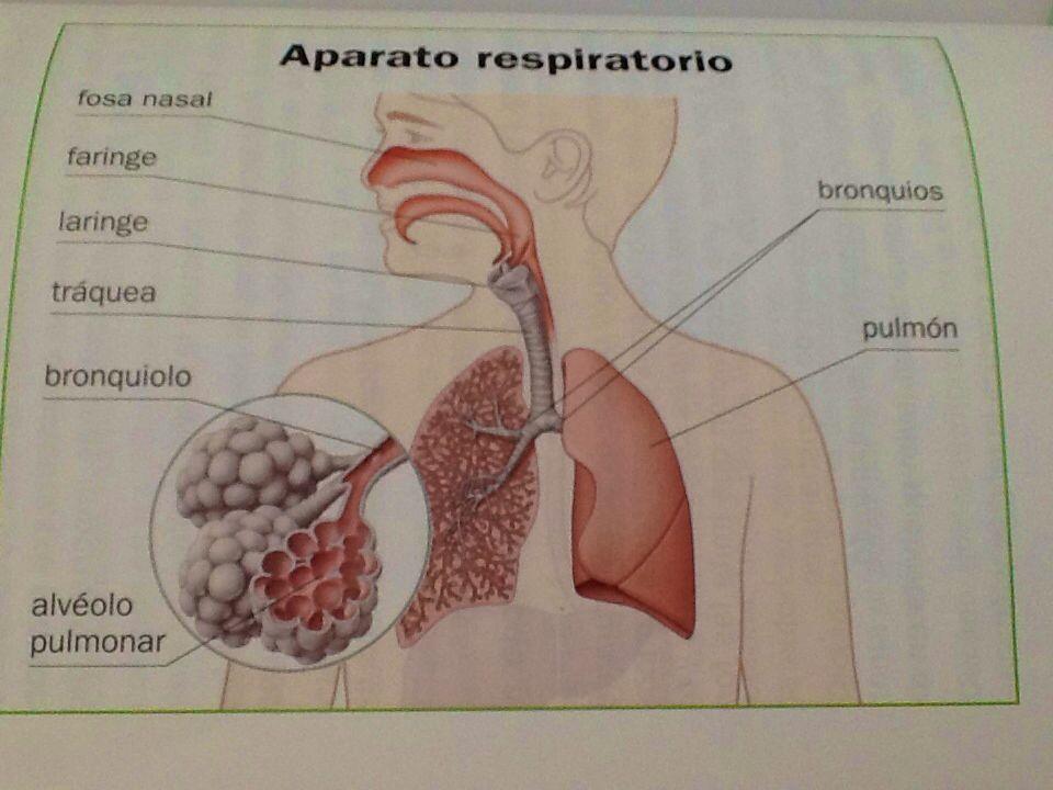 aparato respiratorio del conejo Observarás la capa peritoneal que cubre los órganos del conejo la tráquea y los pulmones de la caja torácica y así observar mejor el aparato respiratorio.