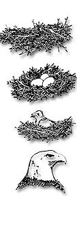 Print Bald Eagle Life Cycle Lesson For Kids Worksheet