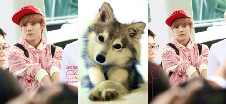 luhan your as cute as a puppy  xd