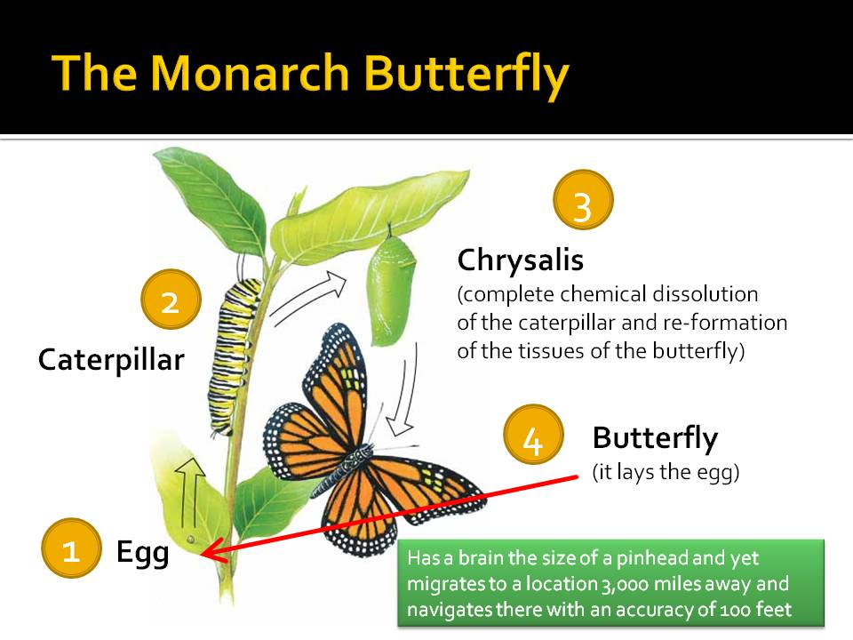 Life Cycle of a Monarch Butterfly Worksheet Monarch Butterfly Life ...